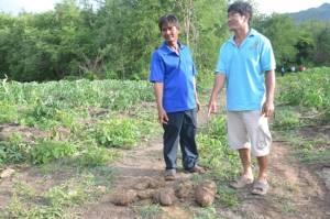 ช้างป่าสลักพระบุกทำลายไร่มันชาวบ้านเสียหายกว่า 20 ไร่ สูญเงินลงทุนรายละร่วม 6 หมื่นบาท