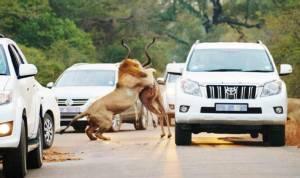In Pics : ผู้ขับขี่ตะลึง! สิงโต 2 ตัวเปิดฉากล่าฆ่าละมั่งกลางถนน