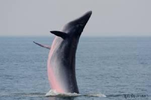 """""""วาฬบรูด้า"""" ฮีโร่อ่าวไทย...สู่อนาคตใหม่""""สัตว์สงวนลำดับที่ 16""""/ปิ่น บุตรี"""
