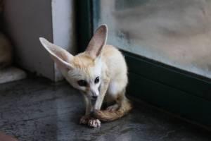 ใจละลายกับความน่ารักของสุนัขจิ้งจอกตัวจิ๋วที่สุดในโลกบนแดนมังกร (ชมภาพ)