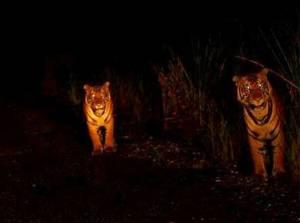 """""""Thais for Tigers: คนไทยไว้ลายเสือ"""" กิจกรรมพิเศษ...แด่คนไทยหัวใจ(รัก)เสือ"""
