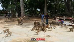 วัดดังชัยนาทรับเลี้ยงหมูป่าที่คนนำมาปล่อยกว่า 400 ตัวไม่ไหว มอบชาวบ้านจับไปเลี้ยงเป็นอาชีพเสริม