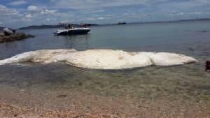 พบซากวาฬบรูด้ายาวกว่า 10 เมตร หลังเกาะสีชัง