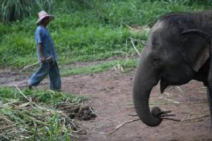 Thai elephant kills keeper, runs off with 3 Chinese on its back
