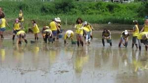 บ.กรุงศรีฯ นำ พนง.กว่า 100 คน ทำนาอินทรีย์ที่อ่างทองเพื่อสร้างสัมพันธ์ชาวนา
