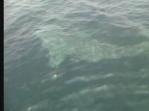 ชาวประมงที่พังงาสุดตื่นเต้นเจอฉลามวาฬโผล่อวดโฉมแบบใกล้ชิด