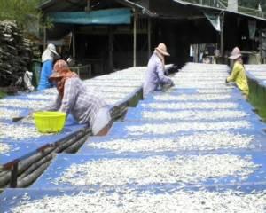 ประมงพื้นบ้านจันทบุรีเริ่มออกหาปลากะตักหลังฝนเบาบาง