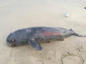 พบลูกโลมาอิรวดีตายเกยชายหาดจุดชมวิวหาดทรายเม็ดแรกที่เพชรบุรี