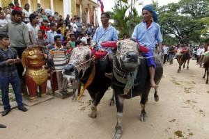 ชาวเขมรแห่ชมงานวิ่งควายส่งท้ายเทศกาลประชุมแบน