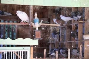 รวบแชมป์นกพิราบเตรียมฝึกนกบินส่งยาแทนคน