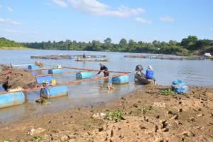 แม่น้ำมูลลดผู้เลี้ยงปลาเร่งเก็บปลาขายก่อนตายจากน้ำขึ้นลงไม่แน่นอน