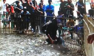 เชียร์สนั่น! ชาวบ้านแข่งจับลูกหมูราดน้ำมันกลางงานเกษตรฯสันกำแพง (ชมคลิป)