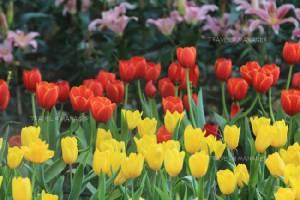 """สัมผัสอากาศหนาว ชมดอกไม้หลากสีสัน  ในงาน """"เทศกาลเชียงรายดอกไม้งาม"""""""
