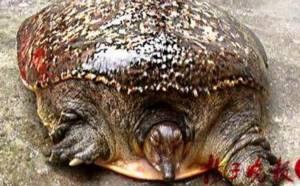 เกือบถึงฆาต! ตะพาบเฒ่า 100 ปี หลุดเขียงภัตตาคารจีน เพราะตุ่มประหลาดบนกระดอง