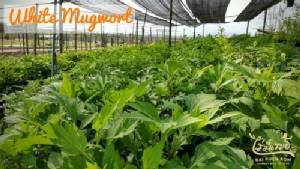 """""""จิงจูฉ่าย"""" ผักสมุนไพรทางออกเกษตรกรไทย ตอบโจทย์รักสุขภาพ"""