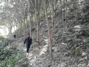 ป่าไม้ลุยยึดสวนยางรุกป่าเพชรบูรณ์ส่งท้ายปี 58 พบบางแปลงนายทุนฮุบเขาทั้งลูก