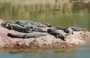 Croc bites off woman's arm in Australia