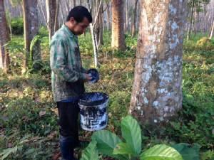 วิกฤตชีวิตชาวสวน เคราะห์ซ้ำกรรมซัด ต้นยางกำลังผลัดใบ!