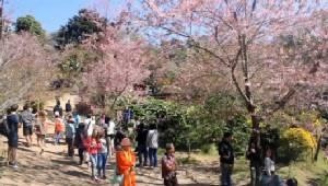 """""""ซากุระเมืองไทย"""" ที่ขุนช่างเคี่ยนออกดอกชมพูบานสะพรั่งแล้วกว่า 80% นักท่องเที่ยวแห่ชมแน่น"""