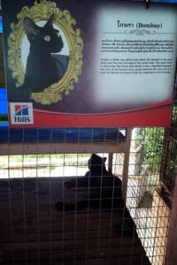 """""""กำนันปรีชา"""" ทาสแมวรุ่นเดอะปฏิเสธเงิน 15 ล.ต่อลมหายใจแมวไทย"""