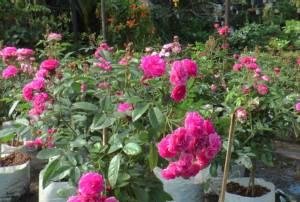 หนาวส่งผลดีไม้ดอกไม้ประดับเบ่งบาน ชาวบุรีรัมย์แห่ซื้อปลูกตกแต่งบ้านคึกคัก