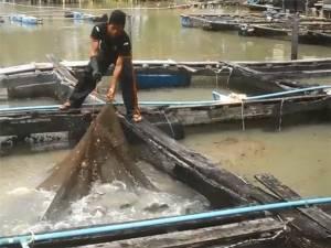 ยังมีผลดี! คลื่นลมแรงทำปลาในกระชังติดชายหาดนราทัศน์โตไว-จับขายได้เร็ว (ชมคลิป)