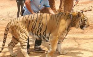 กรมอุทยานฯ-วัดเสือ ย่องเงียบขนย้ายเสือ 5 ตัว