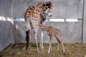 เชียงใหม่ไนท์ซาฟารีเปิดตัวลูกยีราฟสมาชิกเกิดใหม่สายพันธุ์หายาก(ชมคลิป)