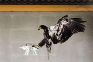 """สุดเท่! ตร.เนเธอร์แลนด์เล็งใช้ """"นกอินทรี"""" จัดการโดรนผิดกฎหมาย"""