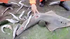 """สลด! ลูกฉลามนับสิบนอนตายริมฝั่งไต้หวัน คาดถูก 'ฆ่าเอาครีบ"""" ทำเมนูต้องห้าม"""