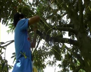 ชาวสวนทุเรียนจันท์เร่งป้องกันผลทุเรียนร่วงเสียหายหลังลมพัดแรงไม่หยุด