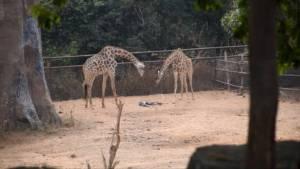 สวนสัตว์ขอนแก่นปลื้มได้ลูกยีราฟเพิ่มอีก 1 ตัว (ชมคลิป)