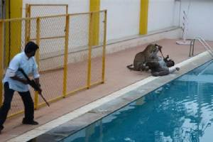 จนท.อินเดียผวาเสือดาวที่ทำร้ายคนหลบหนีจากสวนสัตว์ ระดมกำลังไล่ล่าตัว