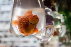 Japanese mum made daughter eat 30 pet goldfish: police, media