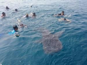 อะเมซิ่งเกาะทะลุ นักท่องเที่ยวเซลฟี่ฉลามวาฬแนบชิดที่ทะเลระยอง