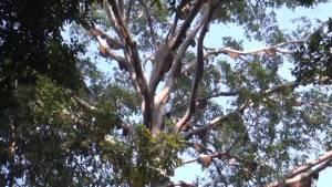 พบผึ้งหลวงหนีไฟป่าทำรังบนต้นไทรยักษ์กลาง อช.แจ้ซ้อนนับร้อย