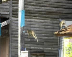 ลิง 2 ตัวหลุดกรงอาละวาด ชาวบ้านเมืองจันท์วุ่น
