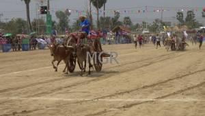 """""""วัวทีมตำบลไร่โคก"""" ครองแชมป์สมัยที่ 4 ในการแข่งขันวัวเทียมเกวียนประเภทเจ้าความเร็วปี 59"""