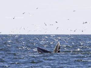 """4 สัตว์ทะเลว่าที่ """"สัตว์ป่าสงวน"""" ชนิดใหม่ วาฬบรูด้า-วาฬโอมูระ-ฉลามวาฬ-เต่ามะเฟือง"""