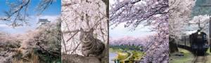 7 จุดสุดงาม!!! ไฮไลท์ชมซากุระบานทั่วญี่ปุ่น หนึ่งปีมีครั้งเดียว/ปิ่น บุตรี