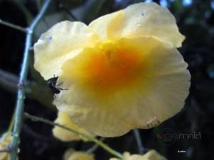 """""""เอื้องผึ้ง"""" เลี้ยงง่าย ดอกสวย กลิ่นหอม / สกนธ์ รัตนโกศล"""
