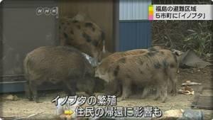 """In Pics&Clip:  ญี่ปุ่นกุมชมับ """"หมูป่าฟูกุชิมะ"""" ใช้เขตกักกันรังสีนิวเคลียร์โรงงานไฟฟ้าเทปโก้แพร่พันธุ์หลายหมื่นตัว พบติดกัมมันตภาพรังสีระดับเข้มข้น"""