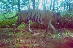 เขมรรับเสือสูญพันธุ์หมดป่าแล้ว เปิดแผนนำเข้าเพิ่มประชากร