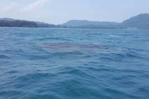 """กลับมาอวดโฉมให้เห็นอีกครั้ง """"ฉลามวาฬยักษ์"""" ที่หาดในยาง"""
