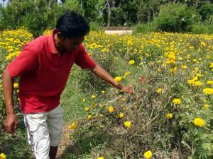 เกษตรกรผู้ปลูกดาวเรืองเดือดร้อนจากภัยแล้ง เตรียมถอนออกปลูกพืชใช้น้ำน้อยแทน