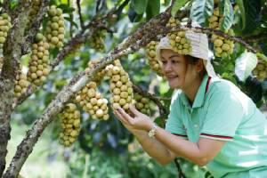 """ชาวสวนระยองเบนเข็มป้อนผลไม้ในประเทศ คัดเกรดพรีเมียมส่งขาย """"ท็อปส์"""""""