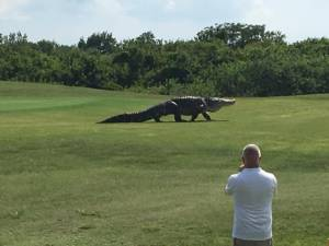 นักกอล์ฟผงะ!! จระเข้ยักษ์คลานต้วมเตี้ยมผ่านแฟร์เวย์ในสนามฟลอริดา (ชมคลิป)