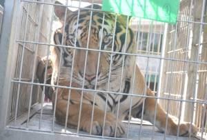 จนท.อุทยานฯ จับเสือวัดป่าได้แล้ว 40 ตัว เผยนาทีระทึกเสือหลุดกลางดึกประชันหน้า ผอ.สปฟ.พากันวิ่งป่าราบ (ชมคลิป)