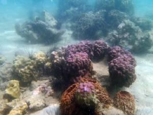 """เผยผลเพาะปะการังแบบใช้เพศที่แสมสารทน """"การฟอกขาว"""" ได้ดี"""