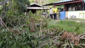 ช้างป่าดงใหญ่ บุรีรัมย์ออกหากินทำลายพืชไร่ชาวบ้านเสียหายหนัก